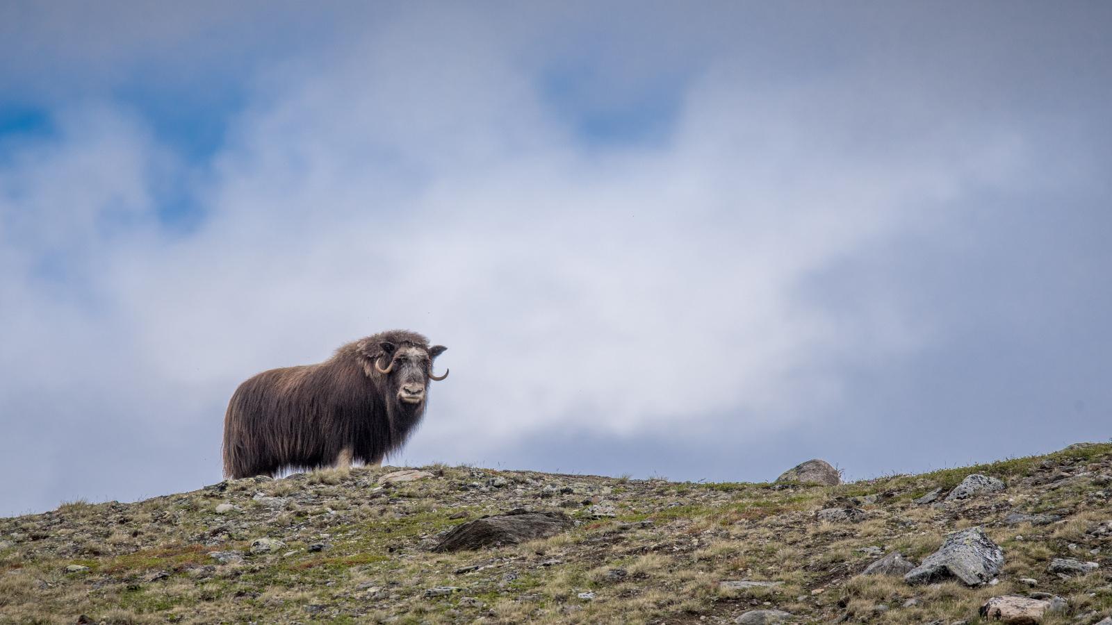 Moskus i Dovrefjell-Sunndalsfjella nasjonalpark. Foto: Oppdal Safari
