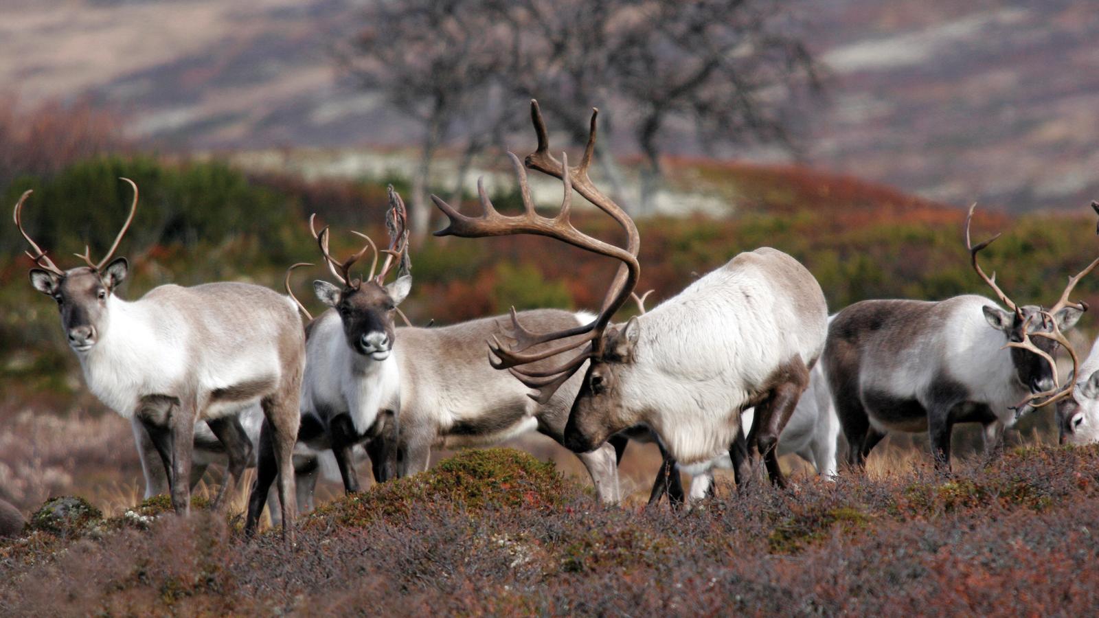 Reinsdyr i Forollhogna Nasjonalpark. Foto: Arne Nyaas.