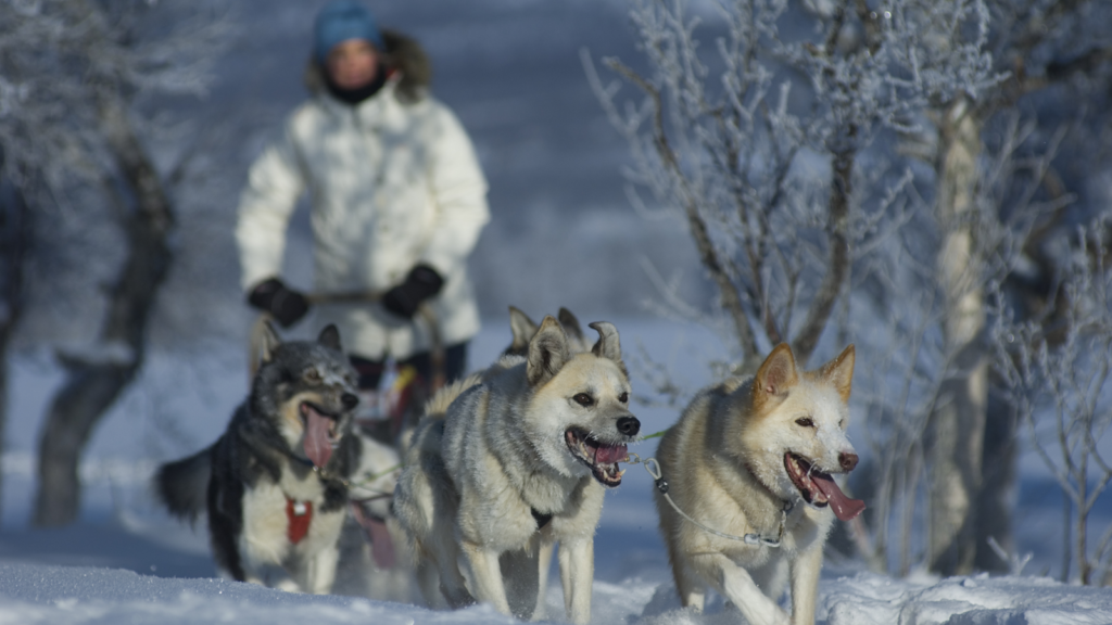 Hundekjøring i Trøndelag